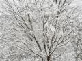 Glimps-whitetree